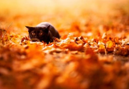 Cat in autumn leaves - animals, look, cute, adorable, autumn, pet, leaves, funny, nice, kitten, cat, kitty, humor