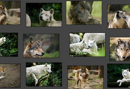 Wolf Collage - friendship, mythical, calender, abstract, pack, howl, insnow, howling, lobo, grey wolf, dog, wolf collage, wallpaper, wolves, timber, canine, winter, wolf, beautiful, lone wolf, wolfrunning, wild animal black, wolf wallpaper, majestic, wolf pack, the pack, snow, white, solitude, grey, black, arctic, canis lupus, nature, spirit
