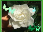 """Butterflies on White Gardenia"""