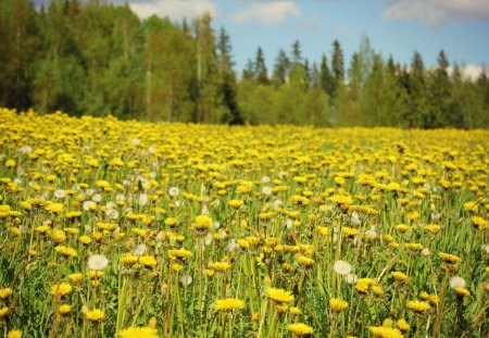 Yellow Field - flowers, nice, trees, meadow, beautiful, field, forest, yellow