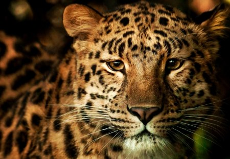 THE PREDATOR - leopard, predator, wild, cat