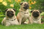 Pug Dogs Party