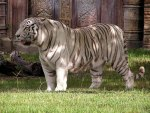 GREAT WHITE TIGER