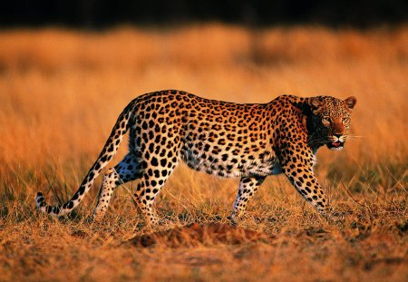 Leopard - leopard, animal, wild, jungle