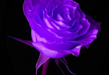 Purple Rose - rose, flower, purple, blask background, abstract