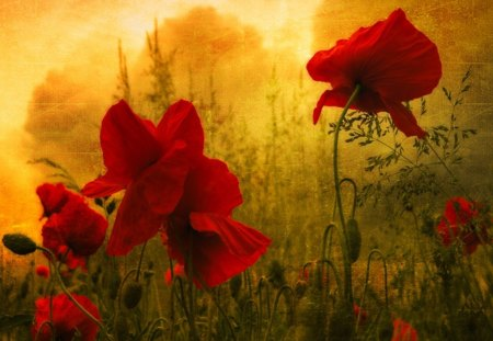 poppies - painted, light, red, texture