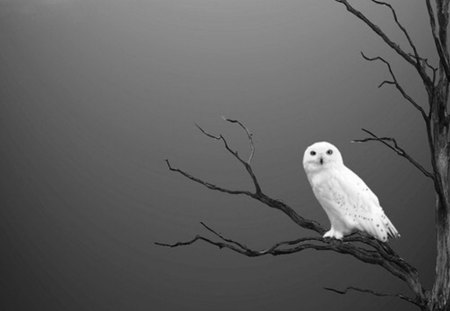 snow owl - owl, dead tree, contrast, bare twigs, black, white, tree