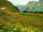 ALPINE WILD FLOWERS