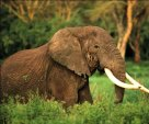 OLD TUSKER