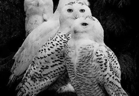 quartet - owls, beauty, birds, white