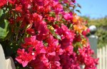 Bougainvillea on fence