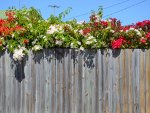 Bougainvillea over fence.