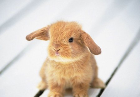 Adorable Fluffy Bunny - fluffy, cute baby, bunny, cute, adorable, rabbit, adorable fluffy bunny