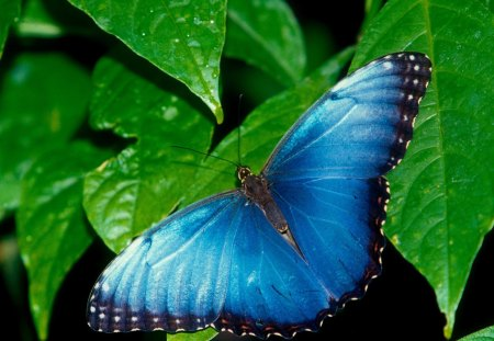 Untitled Wallpaper - blue morpho, butterflies