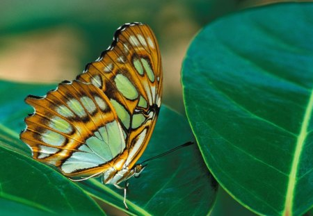 Untitled Wallpaper - malachite, butterflies, malachite butterfly