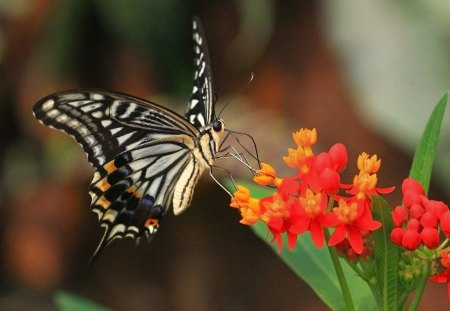 Tiger Swallowtail - butterfly, flowers, swallowtail, tiger swallowtail