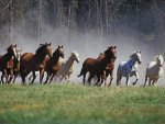 Horses Running - Montana Ranch