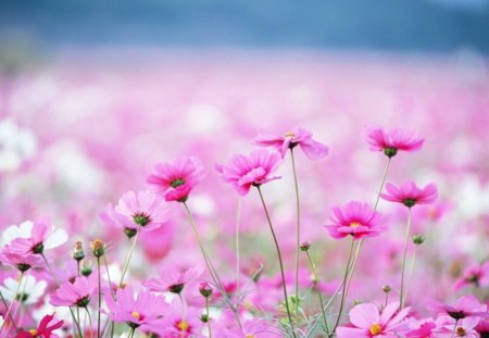 PINK OCEAN - spring, pretty pink, captivating, field