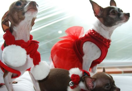 Chihuahua Christmas ♥♥♥ - red, christmas, forever, animals, love, holidays, dogs, chihuahua, celebrate, sweethearts, together