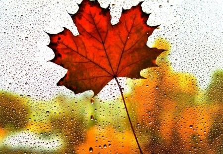 MAPLE in the RAIN - rain, drop, glass, leaf, macro, fall