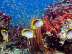 Coral Reef and Yellow Fishes