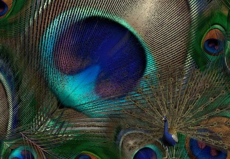 Peacock Feathers - bird, pheasant, beautiful, bright, exotic, feathers, peafowl
