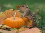 *** Chipmunk with pumpkin ...***