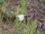 White butterfly and bee
