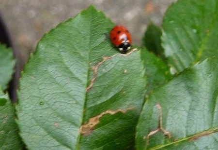 Ladybug on Rose Leaf - green, ladybug, nature, leaf