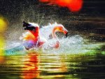 Flamingo Bathing at Sunset