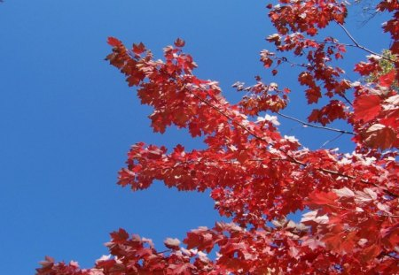 Red Maple Branches in Autumn - beautiful, fall, autumn, november, maple, blue sky, foliage, trees, colorful, harvest, leaf, brown, september, october, michigan, branches, leaves, fa11