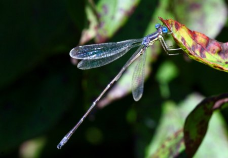 DELICATE BLUE - gardens, wings, dragonflies, leaves, insects