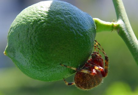 Insect With A Taste For Limes - insect, lime, nature, plant
