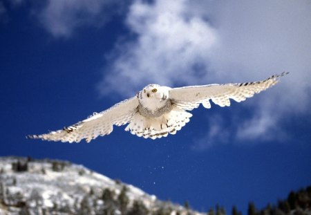 snow owl - snow owl, snow owl in flight