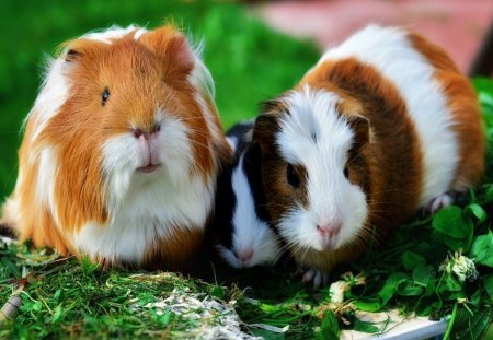 guinea pig other animals background wallpapers on