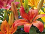 """Colourful Asiatic Lily's for Jean"""