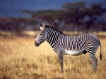 African zebra in the meadow