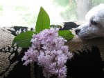 Poodle enjoying scented lilac♥