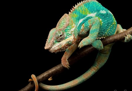changing color camaleon Other Animals Background Wallpapers on