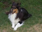 Annie, My Special Avatar Collie :)