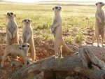 the meerkats (BBC movie poster)