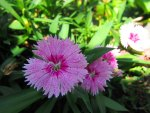 Dianthus chinensis.