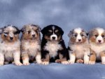 five beautiful puppies
