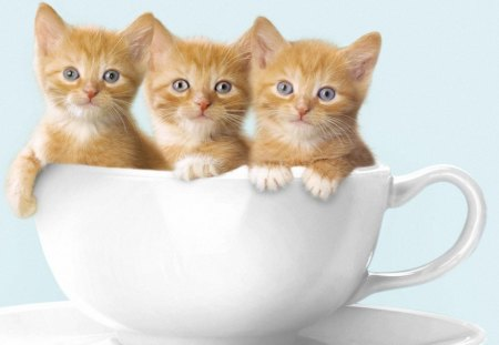 Three Little Cats - kittens, three little cats, animals, eyes