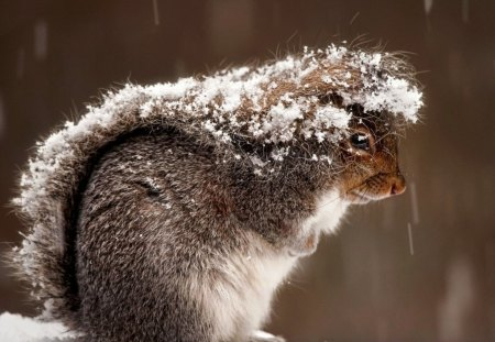 Snowy Squirrel - cold, squirrel, winter, snow