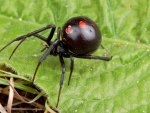 BLACK WIDOW SPIDER 2