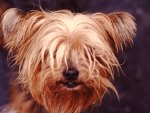 An Old Yorkie