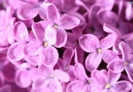 Dainty Flowers - flowers, lilac, purple, lovely