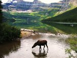 """Moose at Cameron Lake""..."