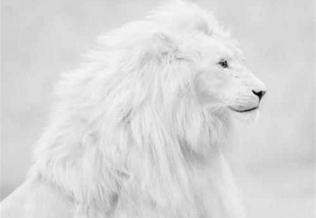 White Lion - spectacular, lion, cat, white
